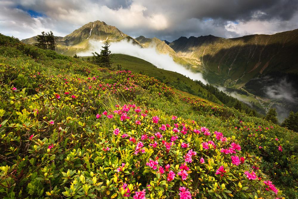 Roßkogel, Almrosen, Stubaier Alpen, Tirol, Österreich