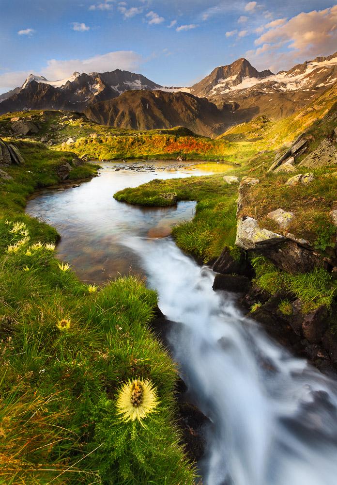 Stachelige Schönheit, Alpenkratzdistel, Stubaier Alpen, Tirol, Österreich