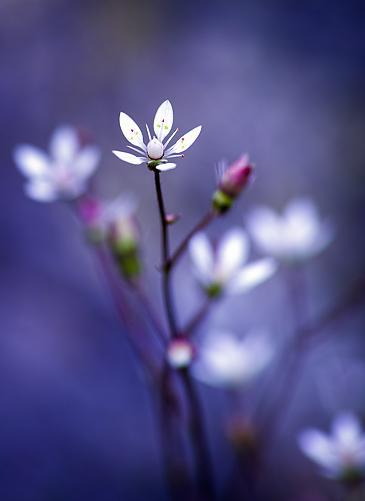 Rising Star, Blume, Macro